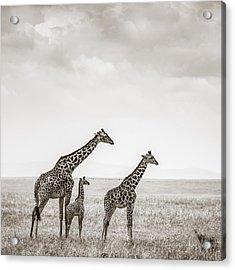 Giraffes Masai Mara Kenya Acrylic Print by Regina Mueller
