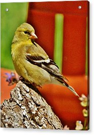 Acrylic Print featuring the photograph Girlie Goldfinch by VLee Watson