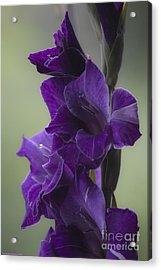Gladiolus Flower . Viewed 187 Times . Acrylic Print