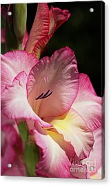 Gladiolus In Pink Acrylic Print