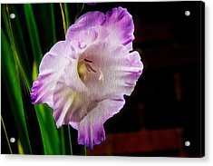 Gladiolus - Summer Beauty Acrylic Print by Tom Culver
