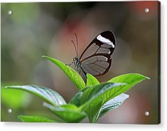Glasswing Butterfly Acrylic Print by Juergen Roth