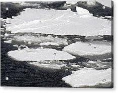 Glaucous-winged Gulls On Sea Ice Acrylic Print