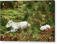 Acrylic Print featuring the photograph Glendalough Cattle 2 by Trever Miller