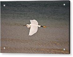 Gliding Bird Acrylic Print by Paulina Szajek