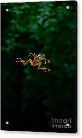 Gliding Frog In Flights Acrylic Print