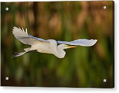 Gliding Great Egret Acrylic Print by Andres Leon