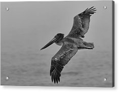 Gliding Pelican In Black And White Acrylic Print by Sebastian Musial