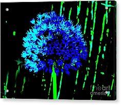 Globe Allium  Acrylic Print by Sally Simon