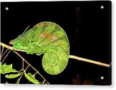 Globe-horned Chameleon Calumma Globifer Acrylic Print