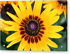 Acrylic Print featuring the photograph Gloriosa Daisy by Denyse Duhaime