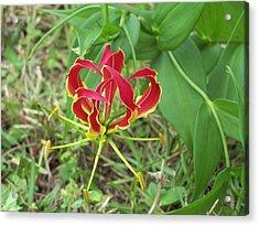 Gloriosa Lily Acrylic Print by Michele Kaiser