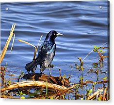 Glorious Grackle Acrylic Print by Al Powell Photography USA