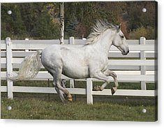 Acrylic Print featuring the photograph Glorious Gunther D2972 by Wes and Dotty Weber
