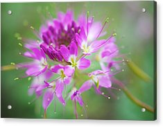 Glorious Acrylic Print by Kevin Bone