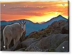 Glorious Mountain Goat Sunset Acrylic Print by Mike Berenson