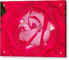 Acrylic Print featuring the photograph Glorious Red Rose by Belinda Lee