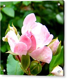 Glorious Rosebud Acrylic Print