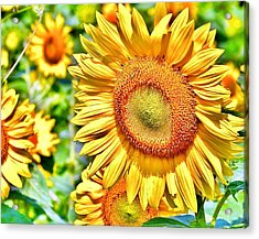 Glorious Sunflowers Acrylic Print