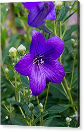 Glowing Balloon Flower Greating The Morning Acrylic Print by Douglas Barnett