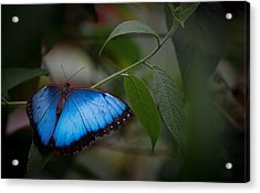 Glowing Blue Acrylic Print by Penny Lisowski
