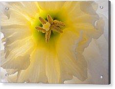 Glowing Daffodil Acrylic Print