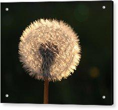 Glowing Dandelion Clock Acrylic Print