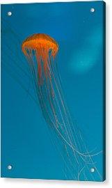 Glowing Orange Sea Nettle Acrylic Print