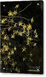 Glowing Orchids Acrylic Print
