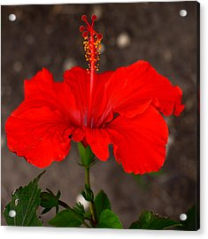 Glowing Red Hibiscus Acrylic Print
