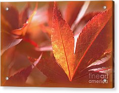 Glowing Red Leaves Acrylic Print