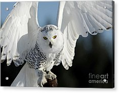 Glowing Snowy Owl In Flight Acrylic Print by Inspired Nature Photography Fine Art Photography