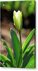 Glowing Tulip Acrylic Print
