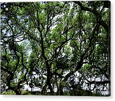 Gnarled Live Oaks Acrylic Print