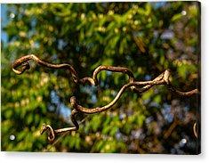 Gnarled Plant Tendrils Acrylic Print by Douglas Barnett