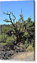 Gnarled Tree On The Lava Beds - Portrait Acrylic Print by Rich Rauenzahn