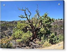 Gnarled Tree On The Lava Beds Acrylic Print by Rich Rauenzahn