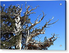 Gnarly Branches Acrylic Print