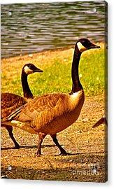 Go Geese Acrylic Print