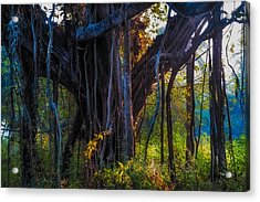 Goan Banyan Tree. India Acrylic Print