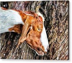 Acrylic Print featuring the photograph Goat 3 by Dawn Eshelman