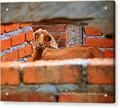 Goat In A Box Acrylic Print by ARTography by Pamela Smale Williams