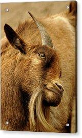 Goat Acrylic Print by Maria Mosolova/science Photo Library