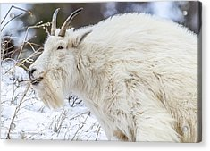 Acrylic Print featuring the photograph Goat On The Mountain by Yeates Photography