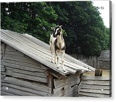 Acrylic Print featuring the photograph Goat On The Roof by Kerri Mortenson