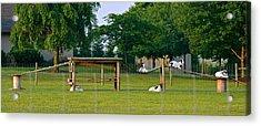 Goat Playground Acrylic Print
