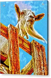 Goat Up High Acrylic Print by Annie Zeno
