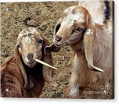 Goats #2 Acrylic Print