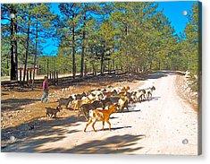 Goats Cross The Road With Tarahumara Boy As Goatherd-chihuahua Acrylic Print