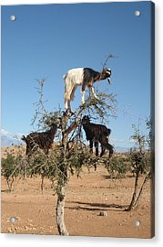 Goats In A Tree Acrylic Print